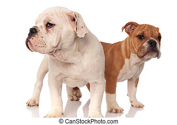 two cute english bulldog puppies standing and look to side