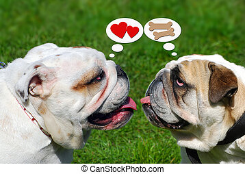 two cute english bulldogs and their thoughts - portrait of...