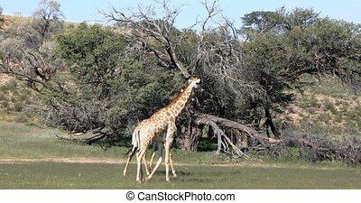 Two cute Giraffe, couple in Kalahari, South Africa - Two...