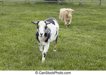 Two cute goats in a lush green pasture.
