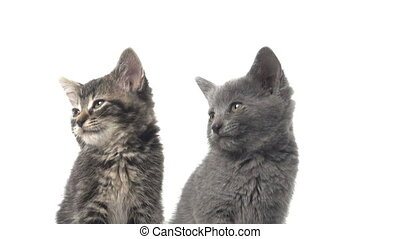 Two cute kittens on white - Two cute baby American shorthair...