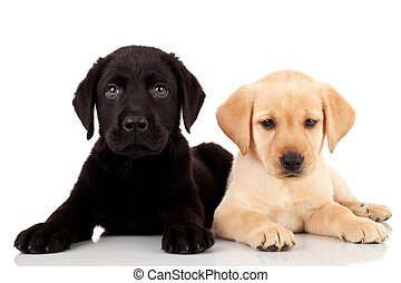 two cute labrador puppies