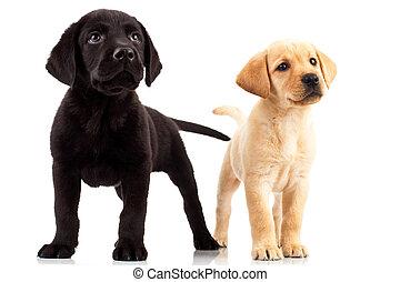 two cute labrador puppies