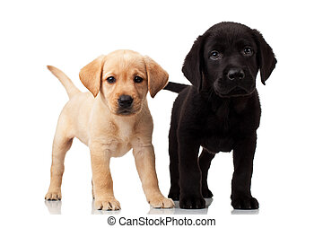 two cute labrador puppies - both very curious , standing and...