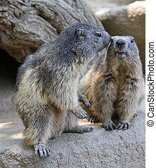 two cute marmot
