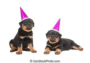 Two cute rottweiler puppies wearing party hats isolated on a white background