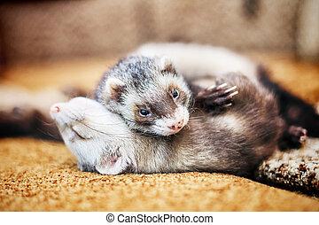 Two cute sleeping ferrets - Portrait of two cute sleeping...