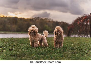 Two cute small golden dogs standing on green lawn in the park.