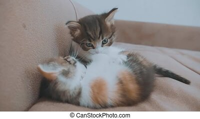 Two cute yellow tabby shorthair kittens playing and fighting...