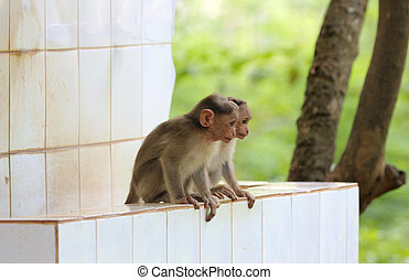 two cute & young indian rhesus macaque monkeys (macaca mulatta) playing in a park
