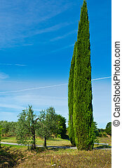 Two Cypress