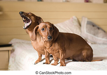 Two dachshund dogs portrait lying on white bed