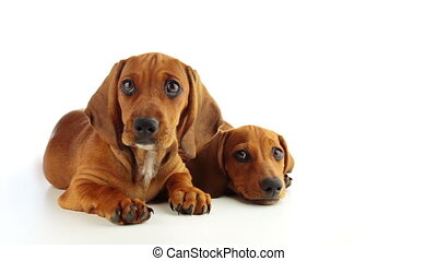 two dachshund puppy on a white background - Studio. Two...