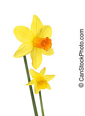 Two Daffodil flowers