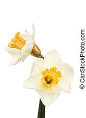 Two daffodil flowers