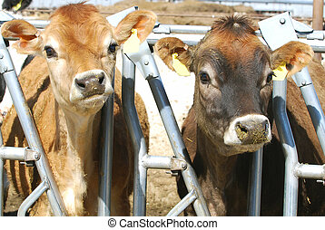 Two Dairy Calves