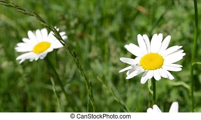 Two Daisies in Grass Field - Two daises sway in the green...