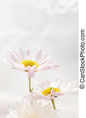 two daisies on a light background