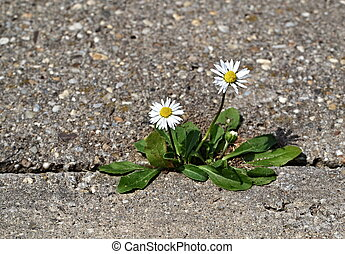 Two daisies on the sidewalk