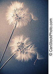 Two dandelions (goatsbeard) with flown off seeds on blue ...
