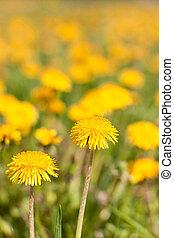 Two dandelions on a field