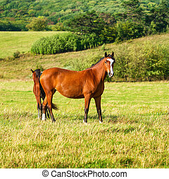 Two dark bay horses grazing on a field