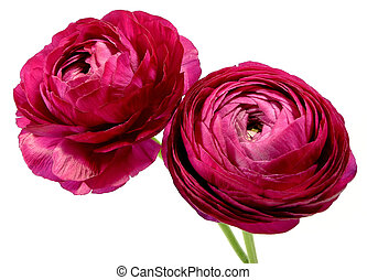 ranunculus - two dark red ranunculus to white reason