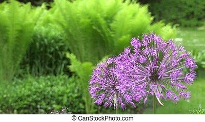 decorative purple garlic flower in garden. Focus change. 4K...
