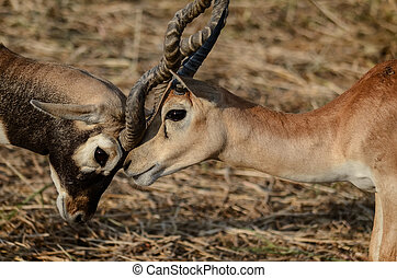 Two deer are fighting