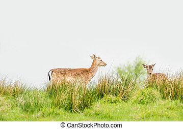 Two deers on a green field