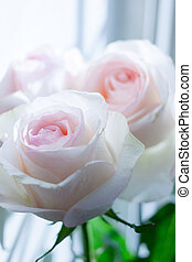 Two delicate pale pink roses illuminated by light from window.