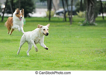 Two dog chasing - Two dog running and chasing on the lawn