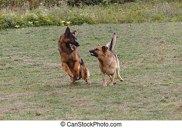 Two dogs are playing in the meadow.
