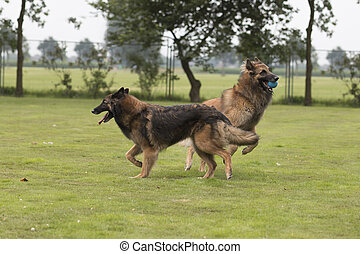Two dogs, Belgian Shepherd Tervuren, playing in grass