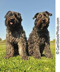 """bouvier des Flandres - two dogs """"bouvier des Flandres"""" ..."""