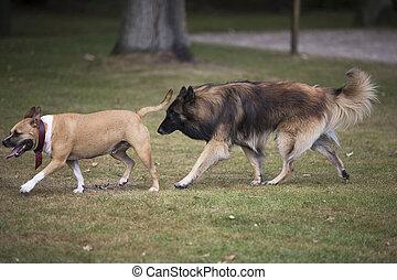 Two dogs chasing each other, Staffordshire bull terrier and Belgian Shepherd Tervuren