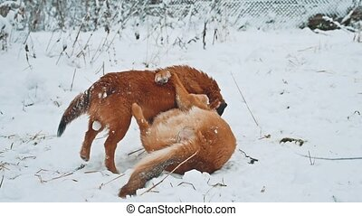 two dogs fighting in the snow winter lifestyle . two dogs...