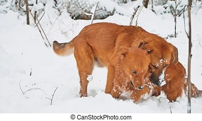 two dogs fighting in the snow winter. two dogs play bite...