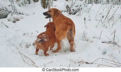 two dogs fighting lifestyle in the snow winter. two dogs...