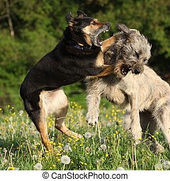 Two dogs fighting with each other in yellow flowers and past...