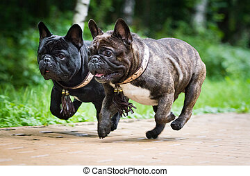 Two dogs French bulldogs, brindle and black, run synchronously, outdoors, in summer, in the rain