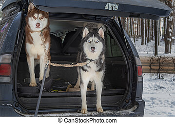Two Dogs in open trunk jeep car. Siberian husky dogs looks forward to the camera.