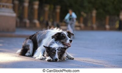 two dogs in the city. obedient Marble border collies lies on the asphalt.