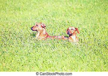 Two dogs in the fields playing
