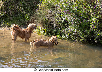 Two dogs in the River Rother at Midhurst on a sunny summers day