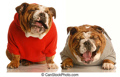 two english bulldog laughing hysterically isolated on a white background