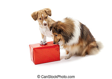 Two dogs looking at gift box