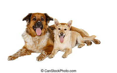 Two dogs looking into the camera on white background