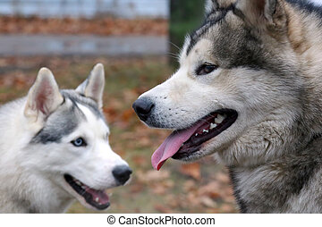 two dogs of breed husky for a walk