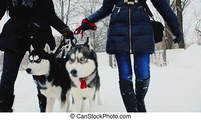 Two dogs of breed Husky go with owners